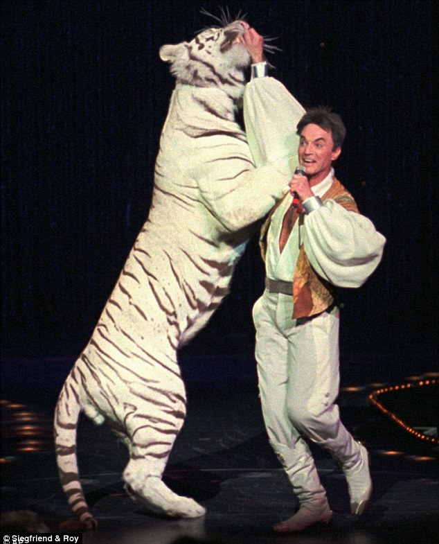 Cat In Fall Wallpaper White Tiger That Injured Roy Horn Of Siegfried Amp Roy In 2003