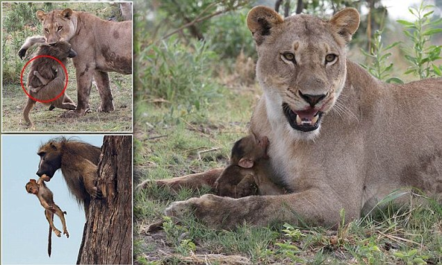 Cute Baby Pig Wallpaper Baby Baboon Suckles Lioness After Mother Is Killed