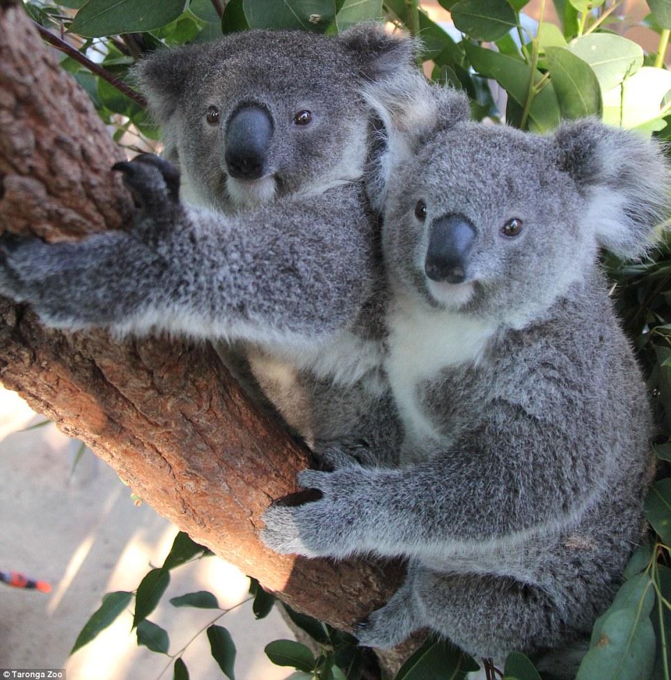 Cute Baby Couple Hug Wallpaper Three Koala Bears At Sydney S Taronga Zoo Enjoy Some Down