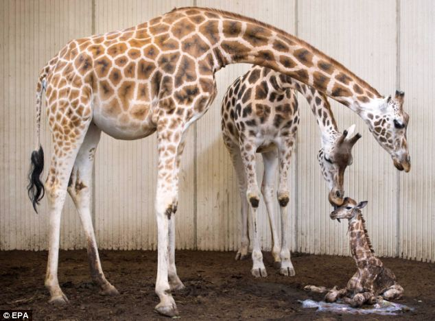 Netherlands Fall Wallpaper Giraffe At Dutch Zoo Gives Birth As Concerned Dad Watches