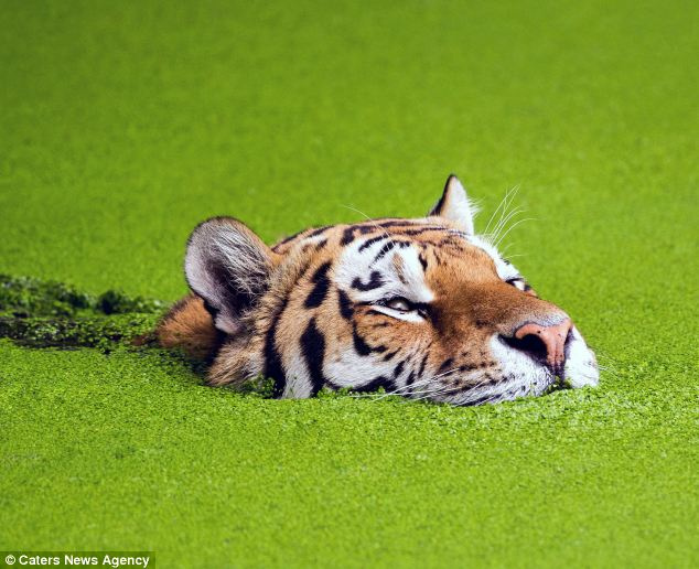 Cute Algae Wallpaper Cute Moment Tiger Strains To Keep His Head Above Water As