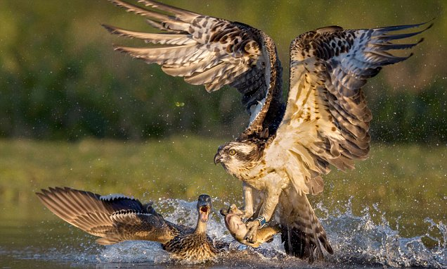 Girl Holding Money Wallpaper Duck Pursues Osprey After It Swoops On A Trout Daily