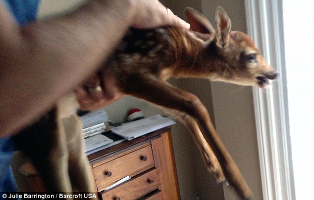Baby Deer Takes Detour Into Canadian Home And Can39t Stop