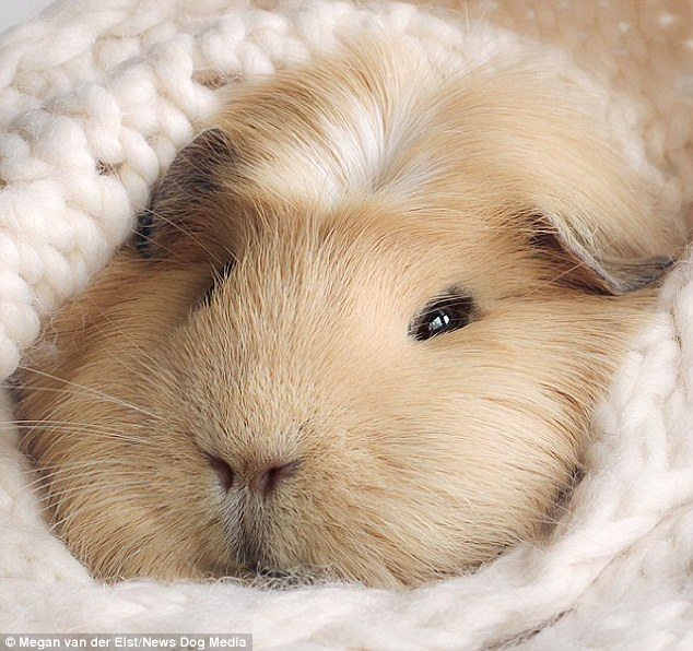 Booboo the guinea pig becomes the latest celebrity animal attracting