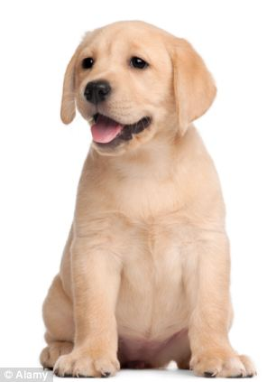 Cute Little Puppies Wallpapers Labradors Are So Passe Now Dog Lovers Are Importing Rare
