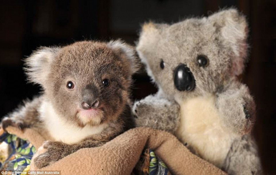 Cute Hipster Wallpaper Orphaned Baby Koala Looking For A New Friend To Help Him