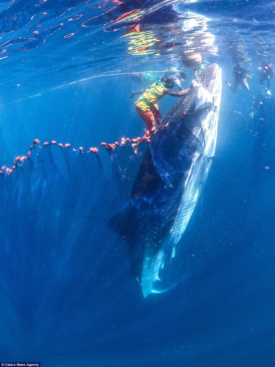 Hd Great White Shark Wallpaper Marine Biologist S Stunning Photographs Show Encounters