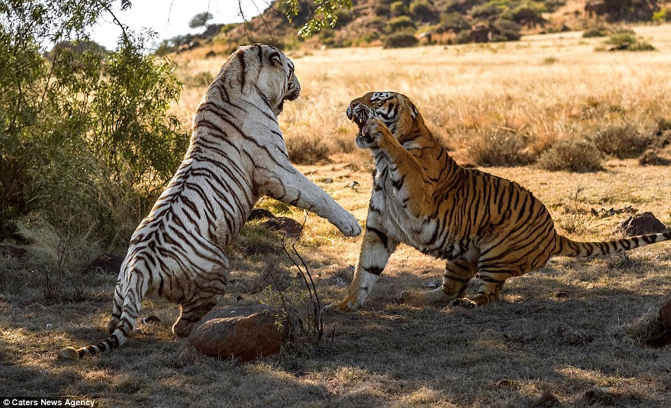 Bengal Cat Hd Wallpaper Two Female Tigers Slash And Tear At Each Other In Battle
