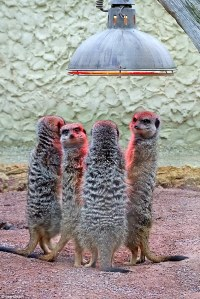 Four tiny meerkats huddle together underneath heat lamp at ...