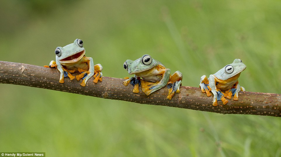 Very Cute Couple Wallpaper Photographer Hendy Mp Captures Amphibians Having Fun On A