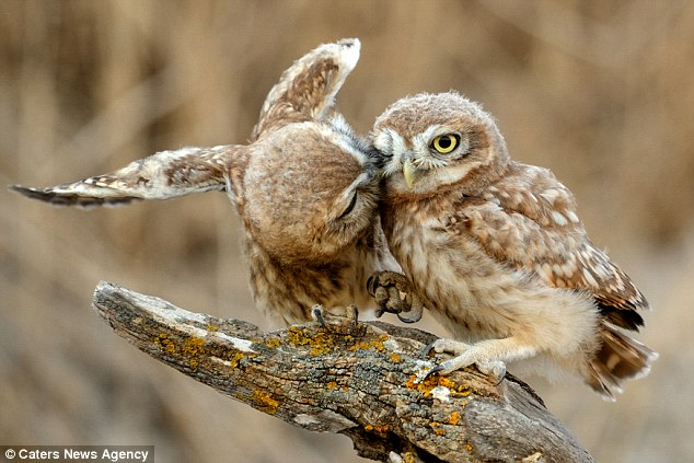 Cute Lovable Couple Wallpapers These Owls Prove They Re Real Love Birds As They Cuddle Up