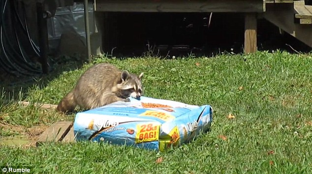 Raccoon Shows Super Strength To Steal A Bag Cat Food By