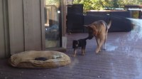German Shepherd puppy is put back to bed by its mum in ...