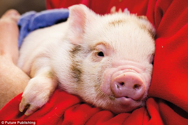 IQ tests reveal pigs can outsmart dogs and chimpanzees Daily Mail