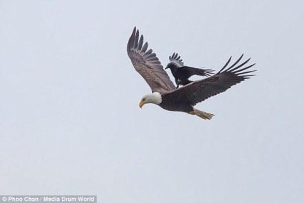 Fotoamator Phoo Chan uchwycił moment, gdy patrzył orła