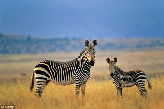 Moving Animation Wallpaper For Desktop Zebra S Stripes Make It Easier For Them To Be Caught By