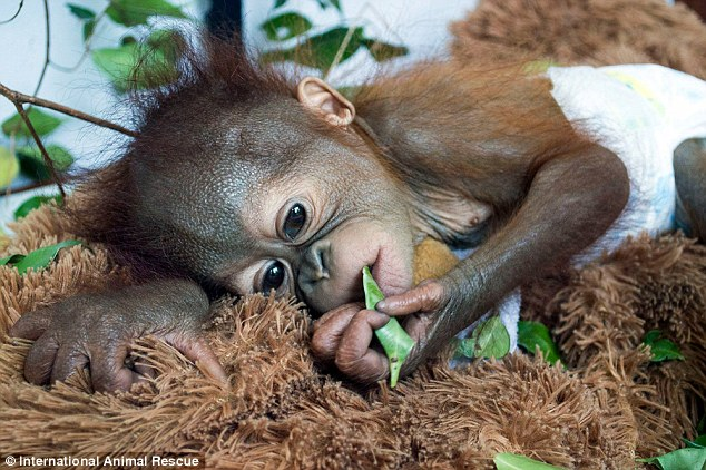 Cute Baby Sorry Hd Wallpaper Baby Orangutan Asoka Found Crying In A Rainforest In