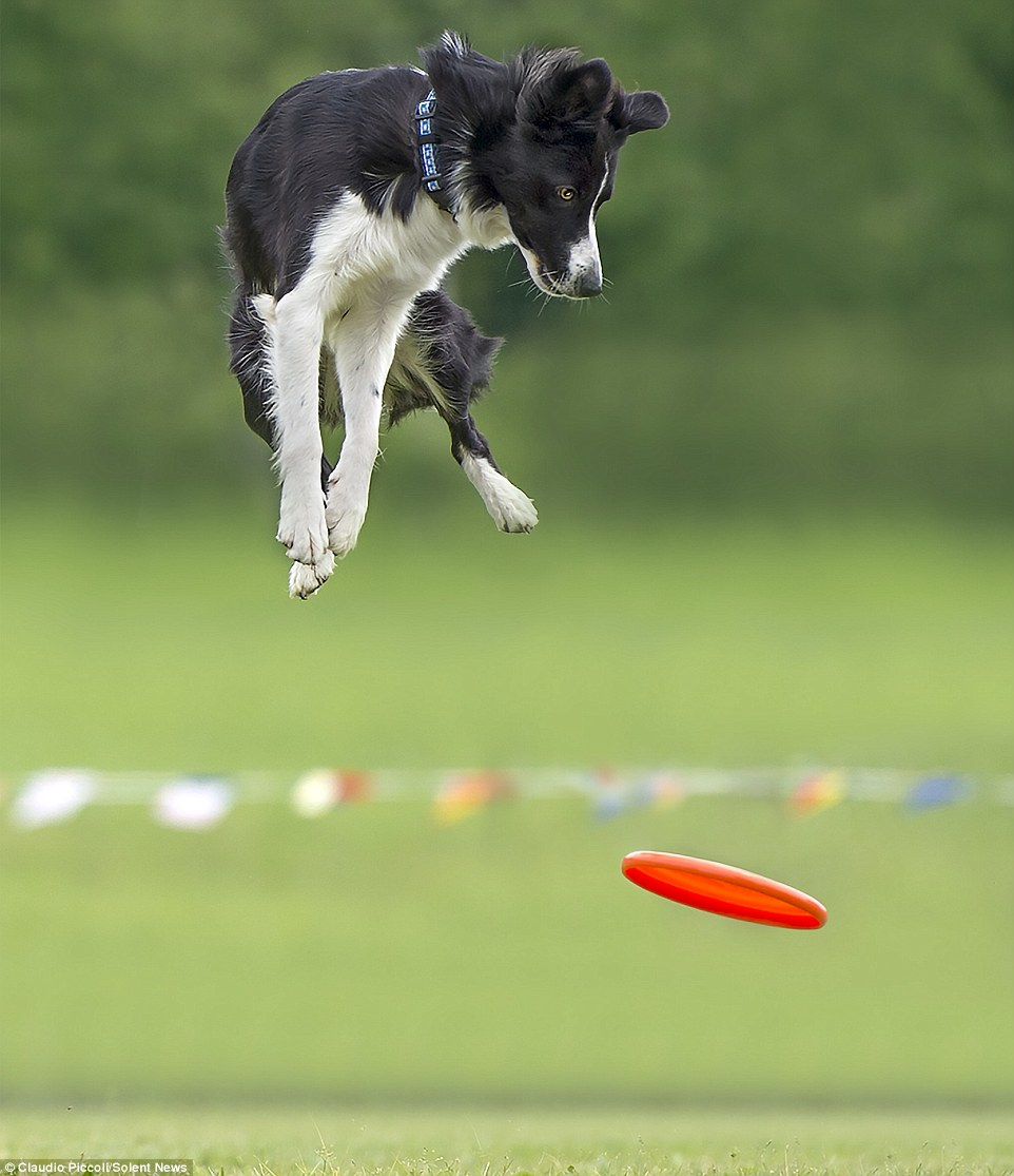 Cute Baby Feet Wallpaper Photos Of Border Collies Up To Six Feet Off The Ground As