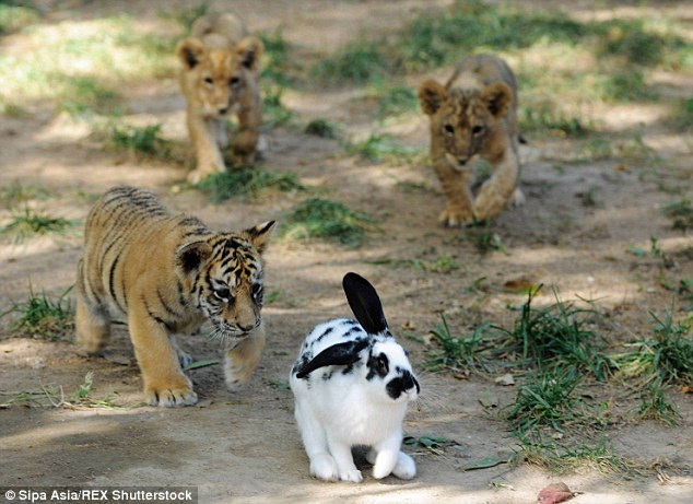 Cute Bengal Cats Wallpaper Tiger And Lion Cubs Attack Rabbits At A Chinese Zoo As