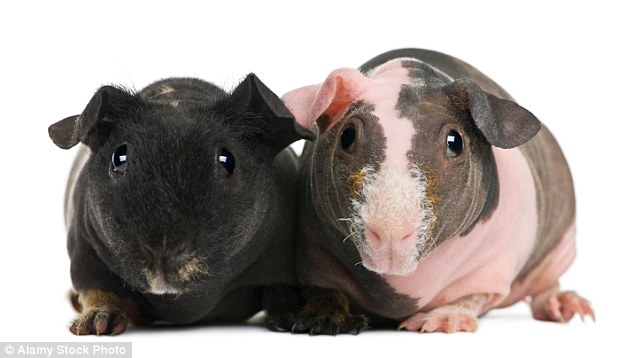 Hairless \u0027skinny pig\u0027 guinea pig breed sweeping the US Daily Mail