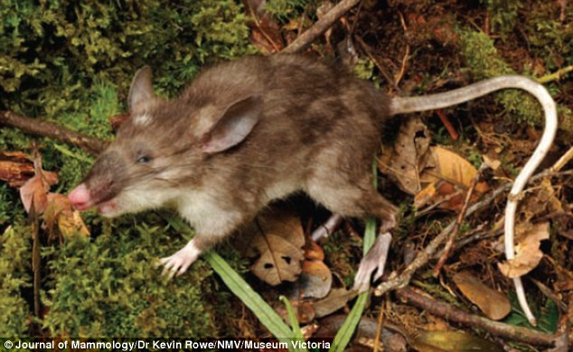 New Hog Nosed Shrew Rat Species With 39curiously Long Pubic