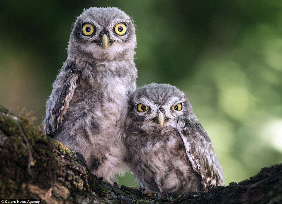 Cute Angry Bird Wallpaper Photographer Alberto Ghizzi Panizza Captures Owl Siblings