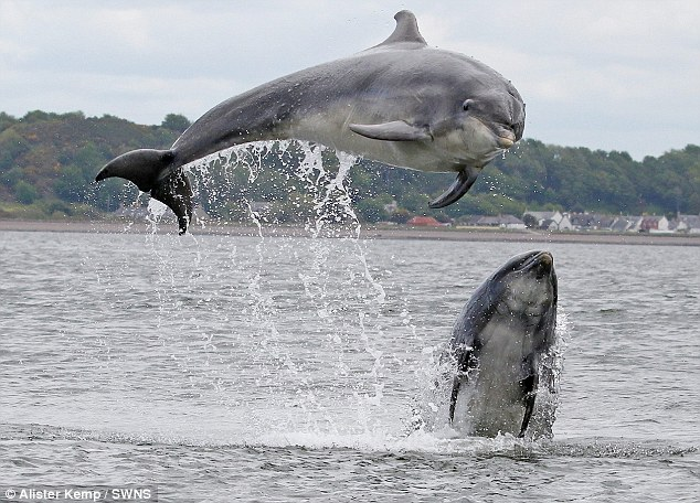 Dolphins have accents too! Experts are studying the unique sounds