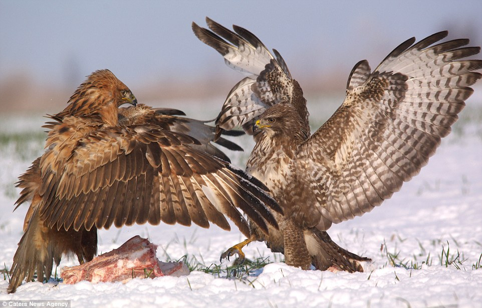 Cute Dental Wallpaper Buzzards Pictured Battling Each Other In Fight Over A