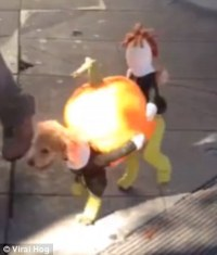 Dog wears Thanksgiving costume of pilgrims carrying a