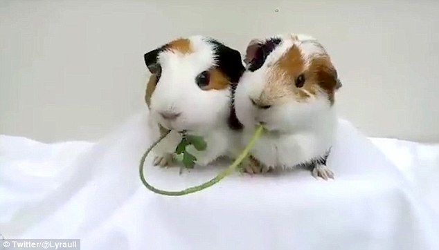 Guinea pigs share a Lady and the Tramp moment with chewing coriander
