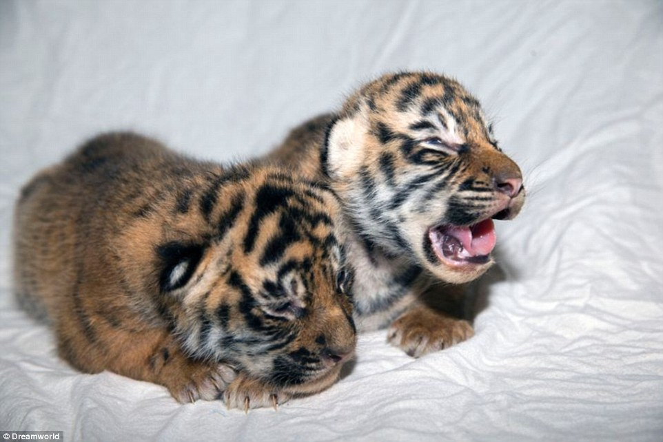 Cute Tiger Cubs Hd Wallpapers Tiger Twins Born At Gold Coast Theme Park Dreamworld