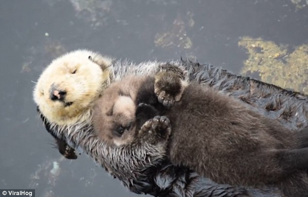Animated Ocean Wallpaper Otter Embraces Her Fluffy One Day Old Pup As They Float