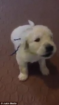Dog video shows stubborn golden retriever puppy from New ...