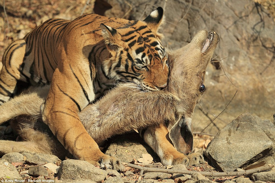 Bengal Cat Hd Wallpaper Rare Photos Of Tiger Killing A Deer Are Captured By