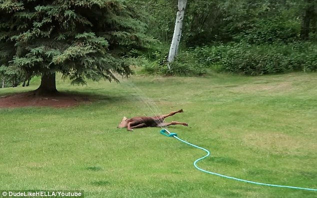 Adorable Baby Moose Plays In The Sprinkler Of A Family39s