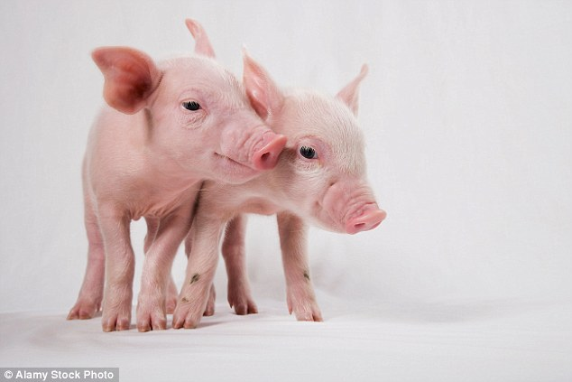 Pigs\u0027 grunts and squeals help show off their personalities and how
