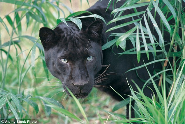Black Panther Animal Wallpaper Dartmoor Zoo Owner Admits They Released Pumas Into The