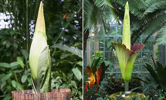Corpse Flower New York Video Of Gigantic 'corpse Flower' That Smells Like Rotting