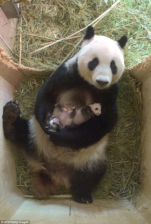 Sweet Indian Baby Girl Wallpaper Twin Baby Giant Panda