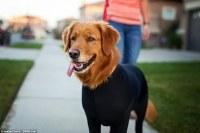 Shed Defender leotard for dogs stops them shedding their