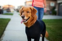 Shed Defender leotard for dogs stops them shedding their ...