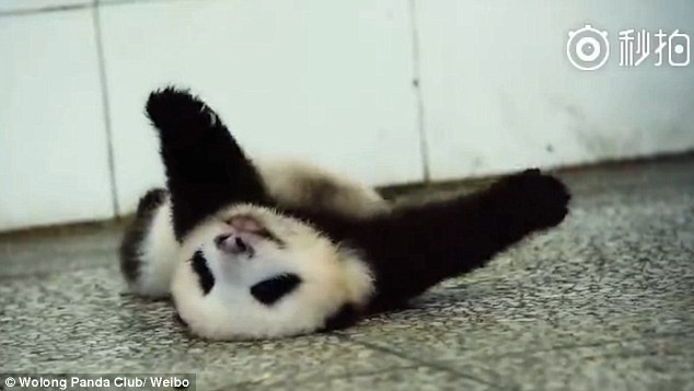 Adorable Moment A Tiny Baby Panda Struggles To Roll Over