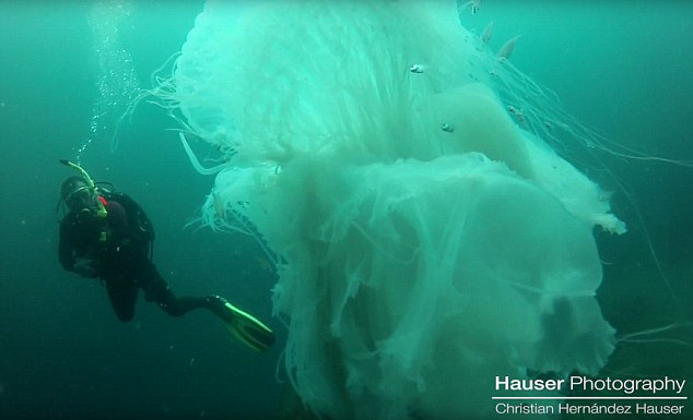 Majestic: This remarkable video of the white jellyfish was taken about 50ft deep under the water near Majahuitas Beach in Puerto Vallarta by the diver, Christian Hauser