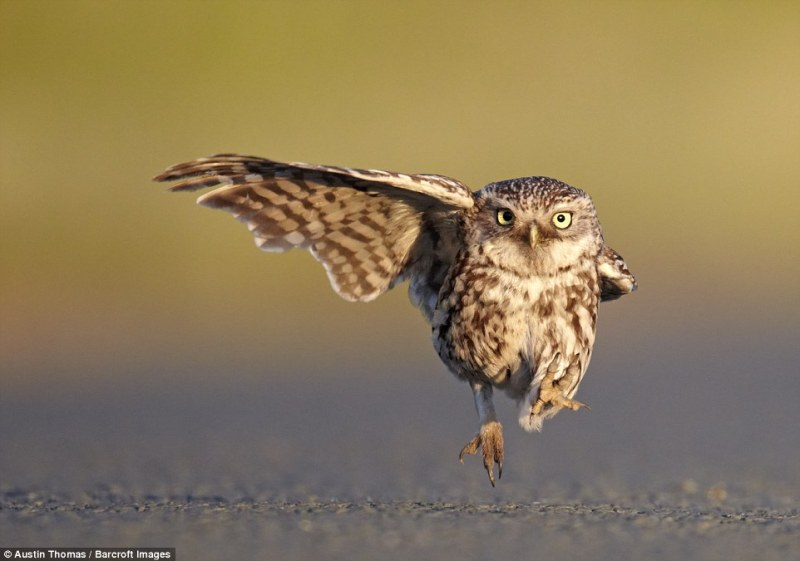 Austin Thomas wins one of the Highly Commended certificates with a wild little owl landing with one wing open and one wing closed. Lancashire, England, July 2011