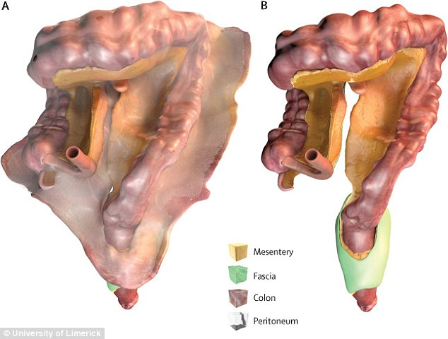Experts discover a brand new ORGAN in the human digestive system - anatomy of stomach
