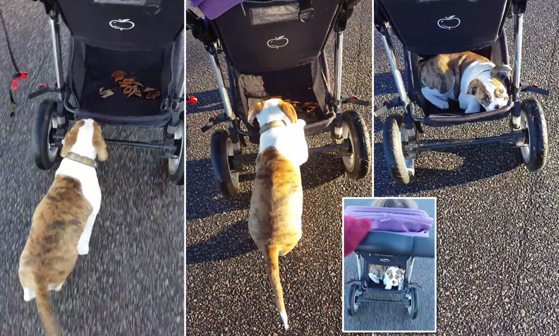 Travel Trio Musical Pram Tie English Bulldog Hitches Ride On A Baby S Stroller Daily