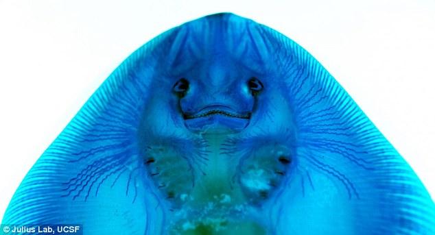 Sharks use electric fields to sense their prey\u0027s heartbeat Daily