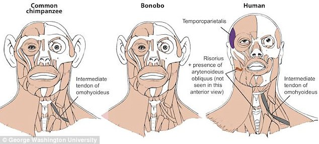 Bonobos may be more closely related to humans than chimps Daily