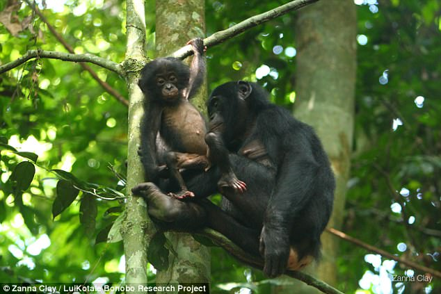 Female bonobos mate with the most attractive male Daily Mail Online