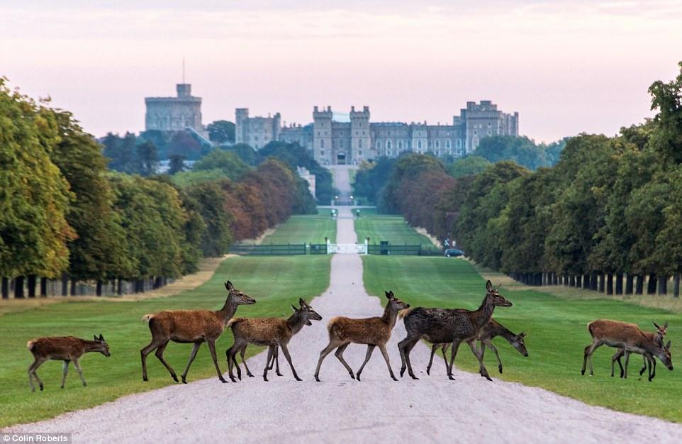 Desktop Wallpaper Stylish Girl Windsor Castle Deer Spotted In Stunning Fairytale Scene
